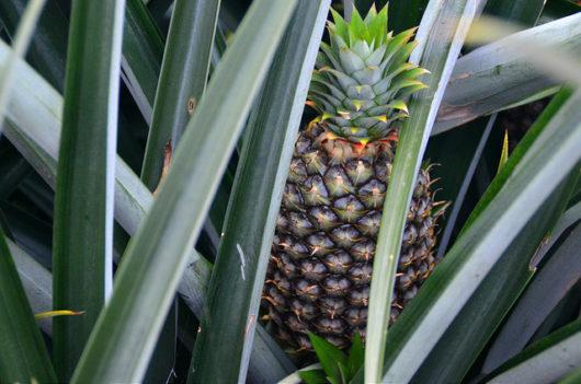 Costa Rica Pineapple Industry