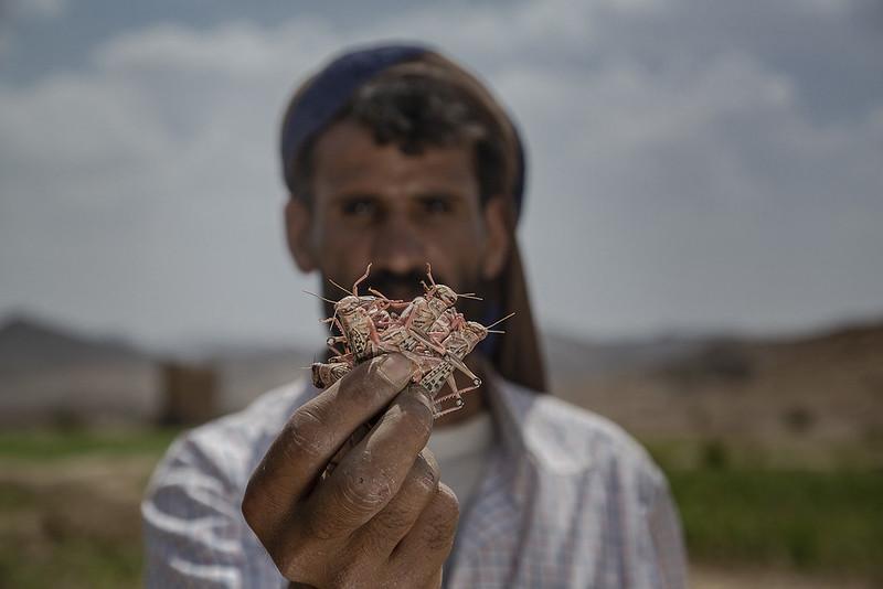 Yemen Desert Locust Response Project