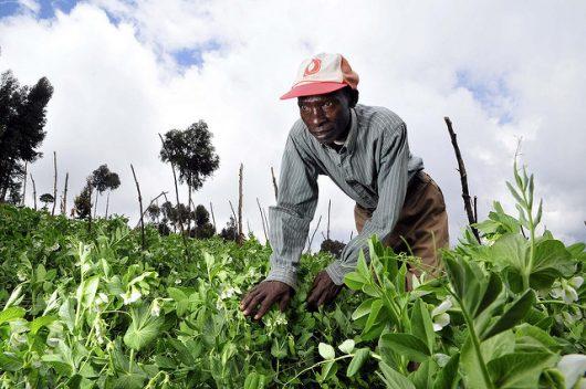 Sack Farming in Kenya