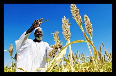 Farmer Harvests Sorghum Seeds in Sudan