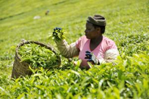 Agricultural Sector in Kenya