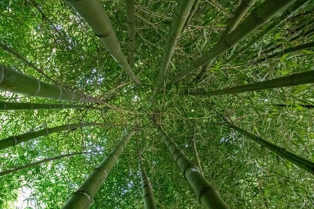 Bamboo in Malawi