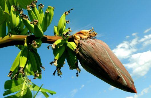Banana 21