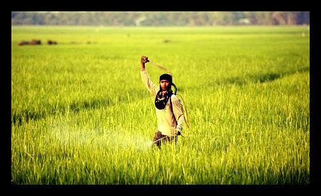 Cambodia_rice_growth