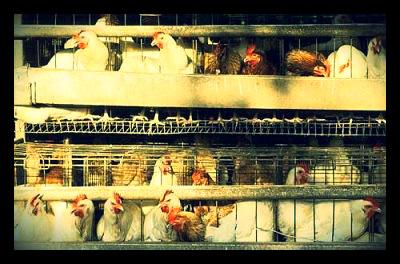 Eunice_Namugerwa_TED_Uganda_chicken_farm