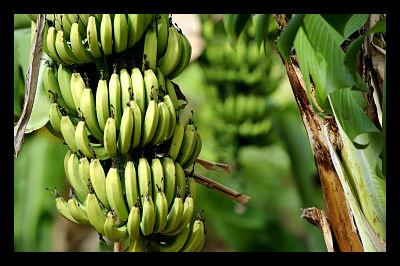 Genetically Engineered Bananas