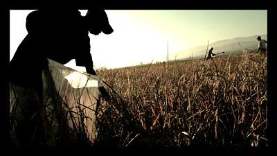 Haiti_rice_crop