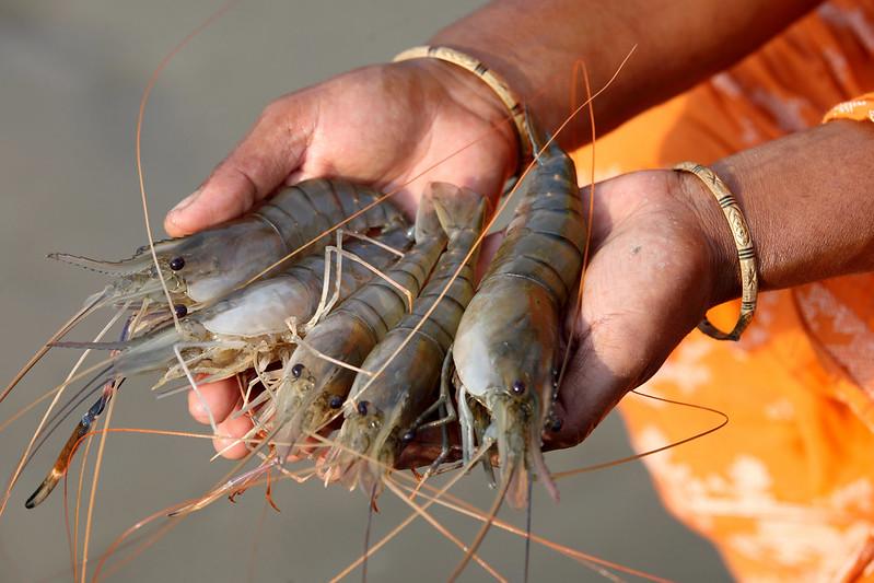 IMTA Shrimp Farms in Bangladesh