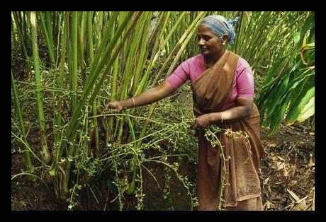 India-spices-ITC-development