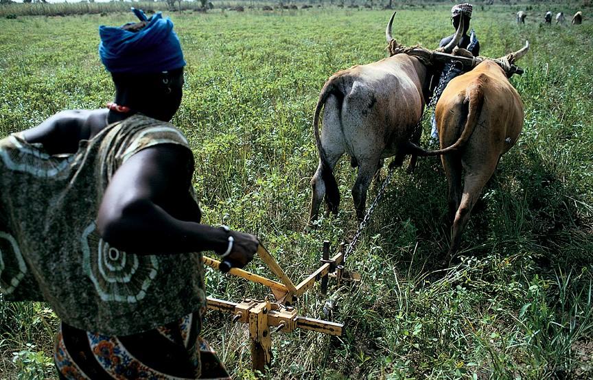 Livestock Fattening in Mali