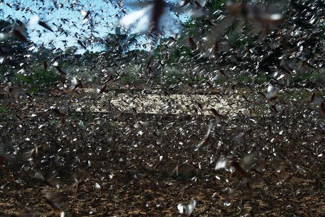 Locusts in East Africa
