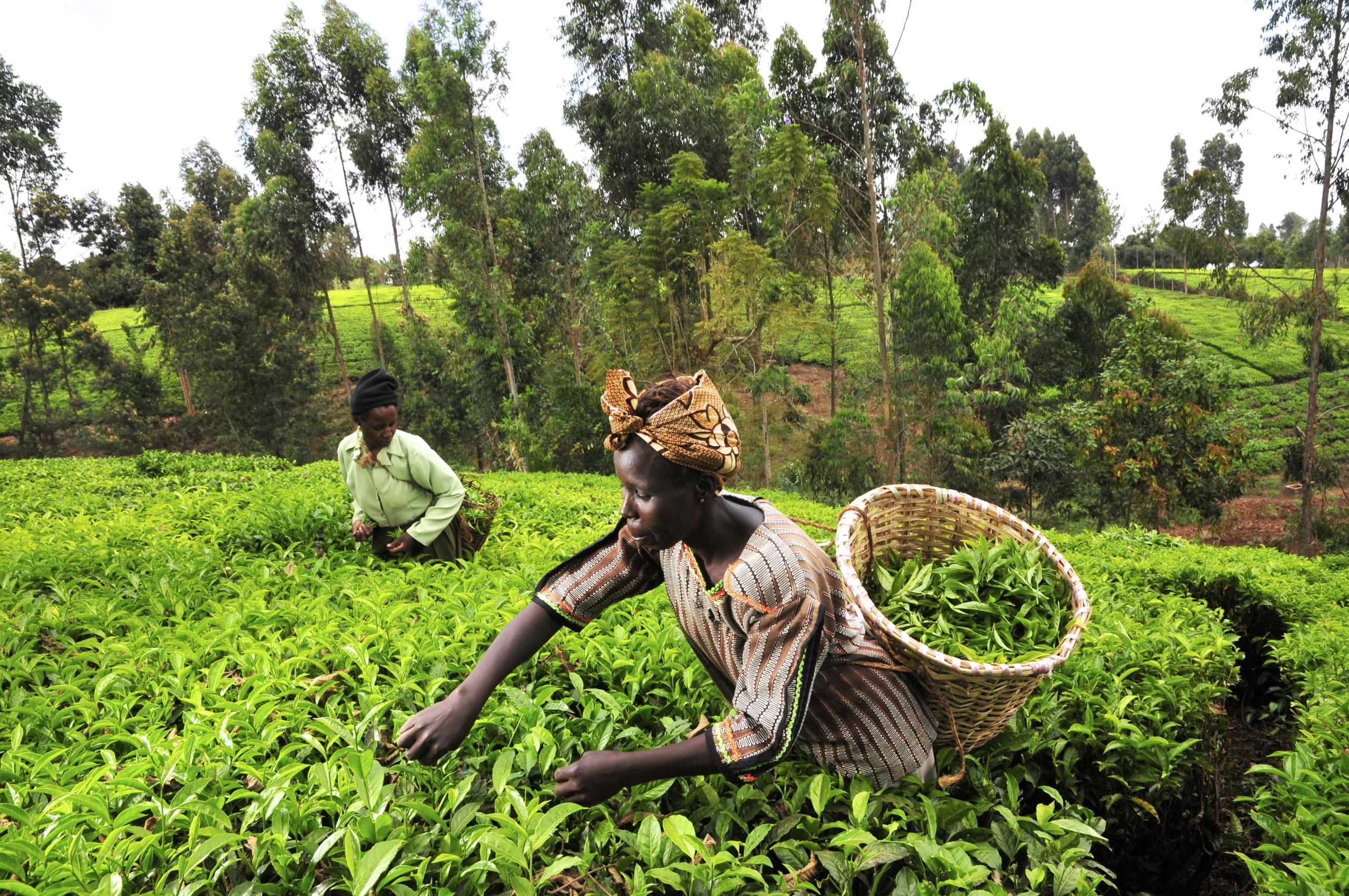 Renewable Energy in Kenya's Tea Landscapes