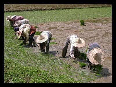 Rice Subsidy