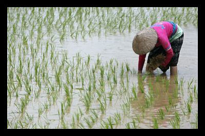 Rice_Cultivation_Laos