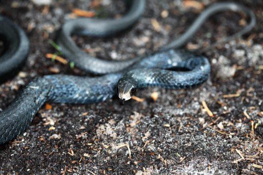 Snakebite Envenoming