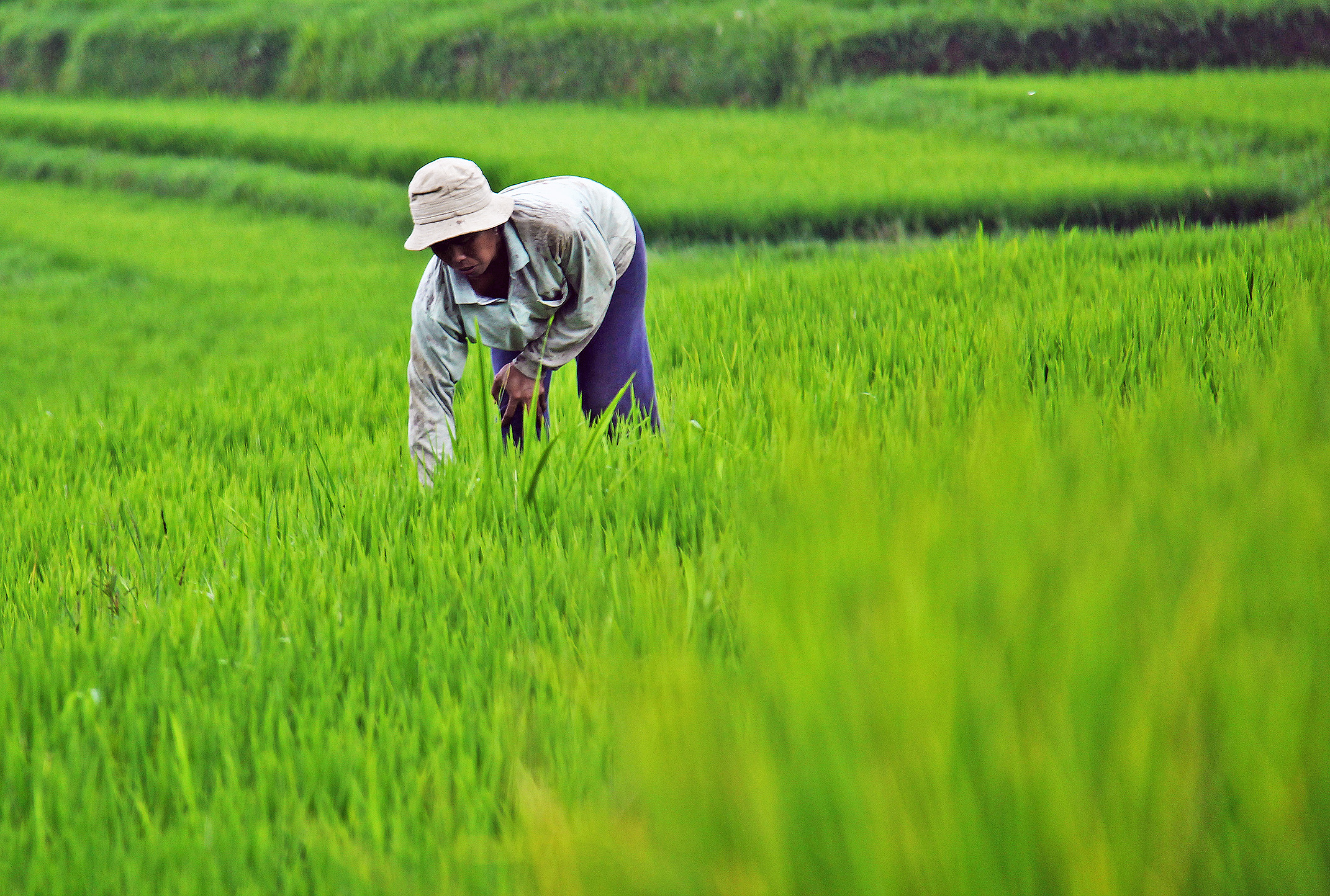How Technology Improves Rice Production Worldwide The Borgen Project