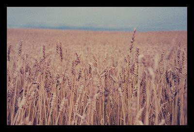 Wheat_USAID