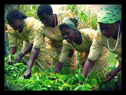 agroforestry- big