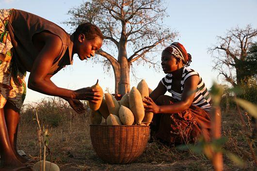 baobab_fruit