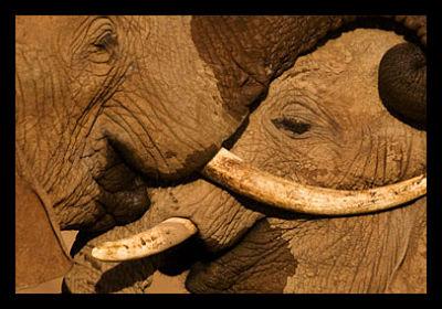 Kony's Elephant Poaching
