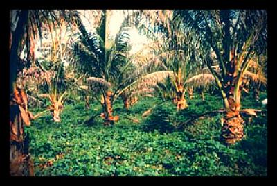 fijiagriculture2_opt