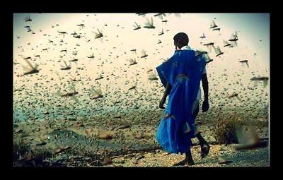 imageFAO Allocates Funding to Combat Locust Crop Destruction in Sudan