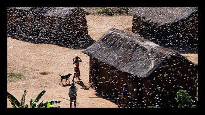 locusts_Madagascar