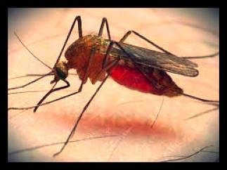 malaria-mosquito-sucking-blood